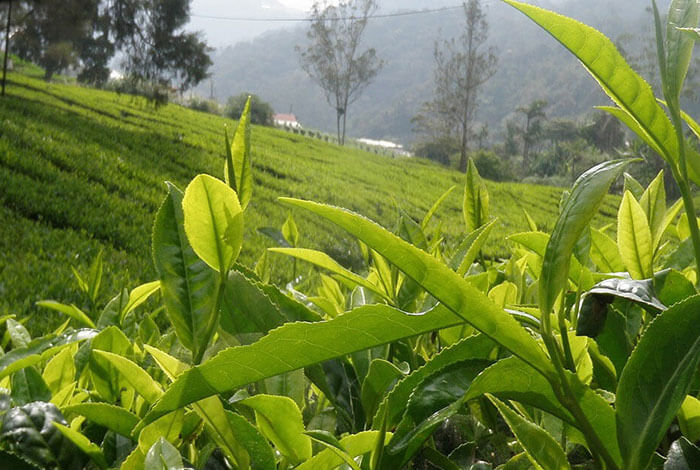 Rousdonmullai Tea Estate
